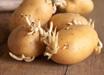 这3种食物发芽不仅没毒,而且营养更丰富